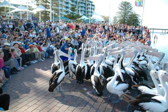 pelican-feeding3-1