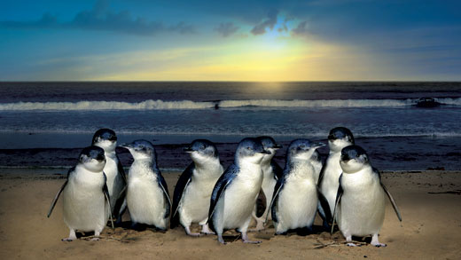 Pingouins Australien